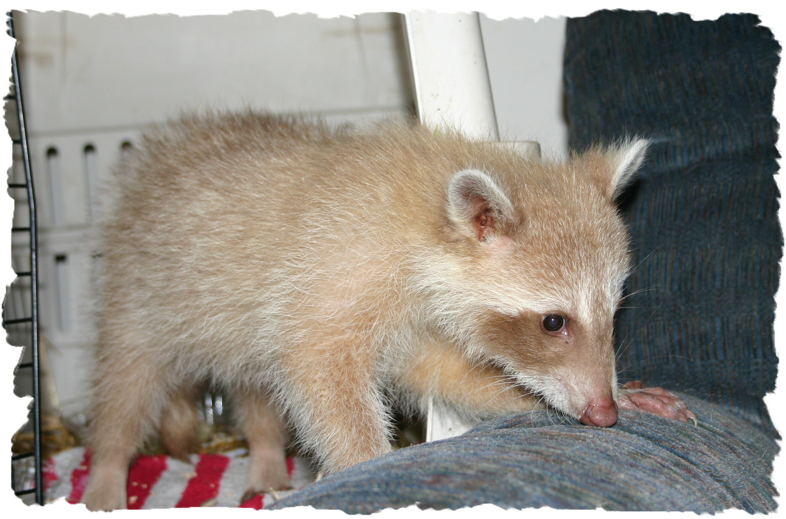 billy bob the blonde raccoon