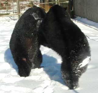 sybil and benny the black bears