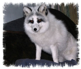 daryl the marble fox