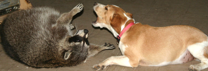 lucy with george the raccoon