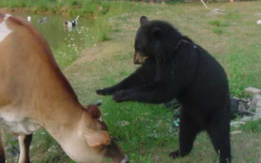 steer and black bear