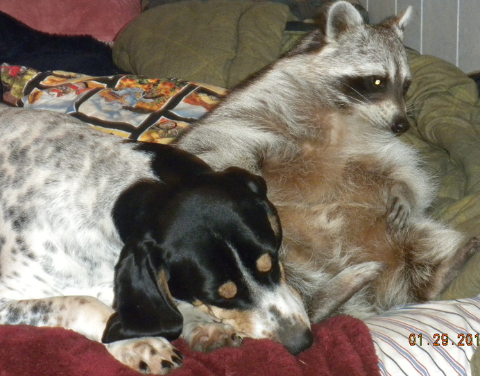 raccoon and dog