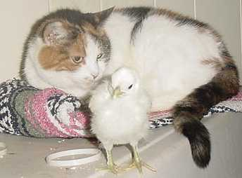 baby chicken and cat