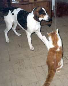 treeing walker coonhound with cat