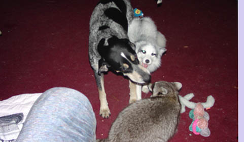 blue tick coonhound with marlbe fox and raccoon