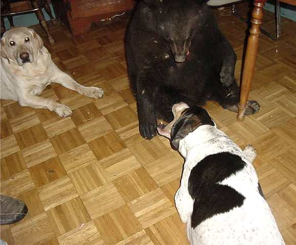 sybil the black bear and opie the coonhound playing