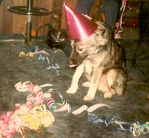 ralph the keeshound with party hat