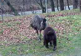 emu and black bear