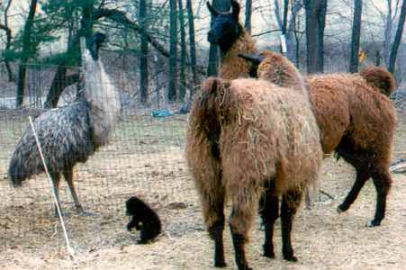 emus, llamas and black bear cub
