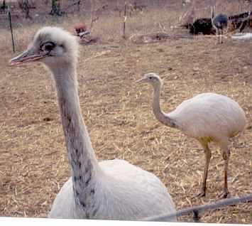 ozzie and harriet the white rheas