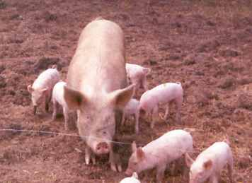 female pig and piglets