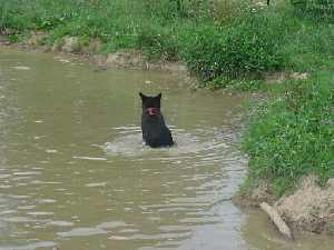 sybil the black bear swimming