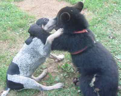 Sybil the domestic black bear with Fannie the blue tic