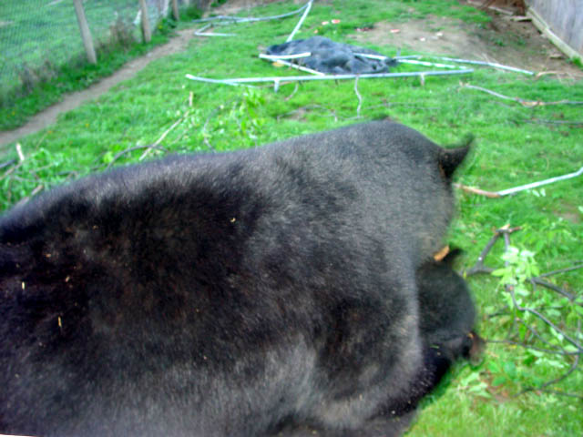 sybil and benny the domestic black bears