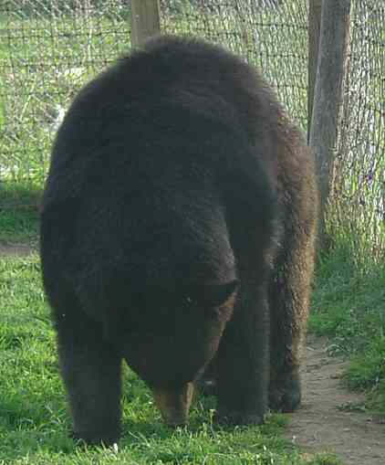 benny the black bear
