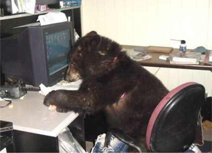 sybil , the black bear using the computer