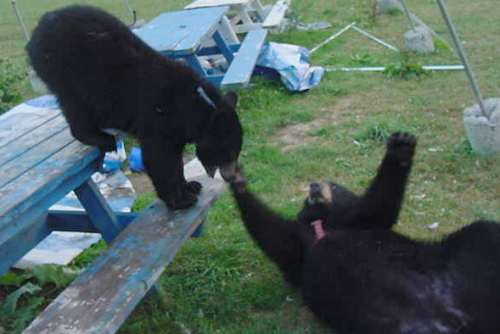 benny and sybil the domestic black bear cubs
