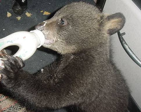 benny, bear cub drinking his bottle