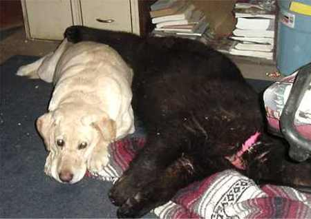 sybil the black bear and jed the yellow lab