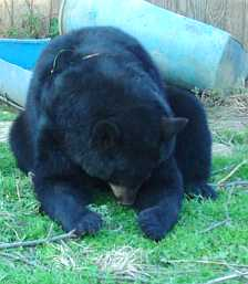 sybil the domestic black bear