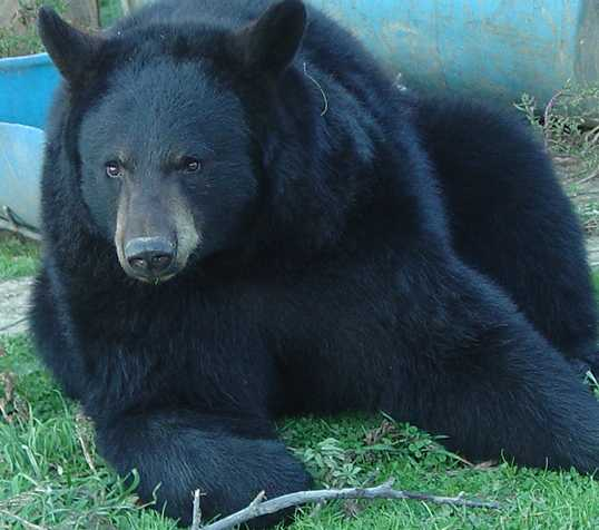 close up picture of sybil the domestic black bear