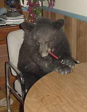 sybil the black bear eating at the table