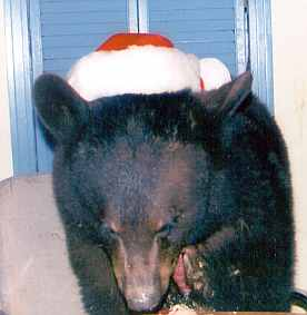 sybil the black bear wearing a santa hat