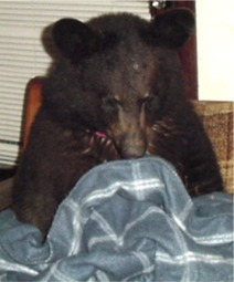 sybil the black bear getting ready for a nap