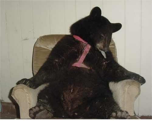 sybil the bear in her easy chair