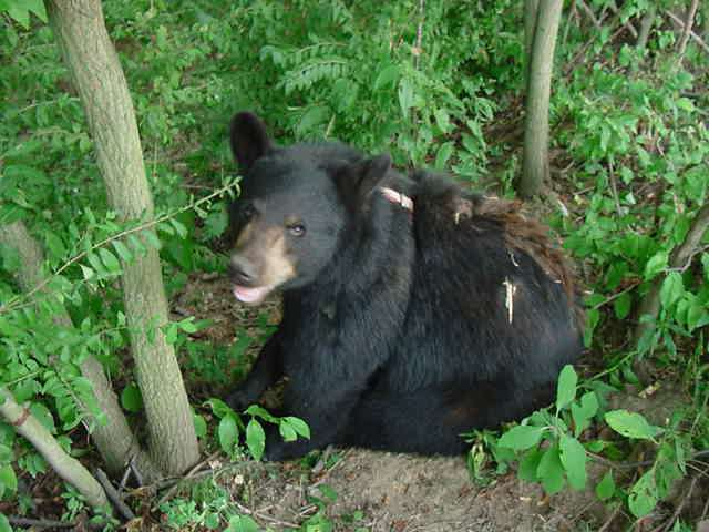 Sybil the domestic black bear with a patch of brown fur.