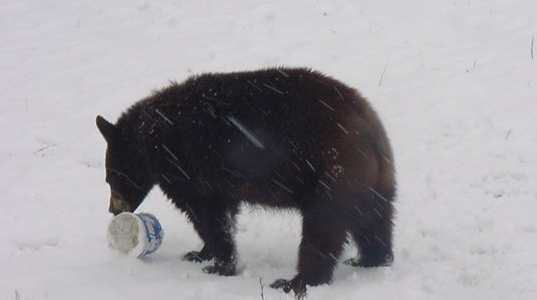 sybil the bear  playing in the snow