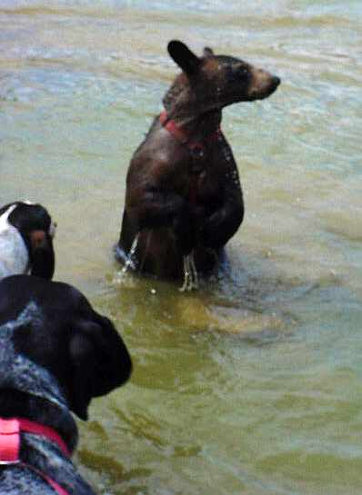 benny the domestic black bear standing in water
