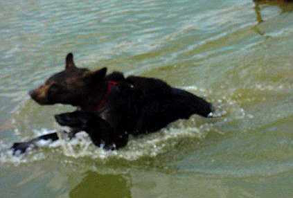 benny the domestic black bear swimming