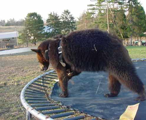 sybil the domestic black bear on trampoline