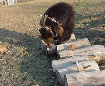sybil the domestic black bear playing on logs