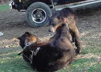 sybil and benny the domestic black bears playing