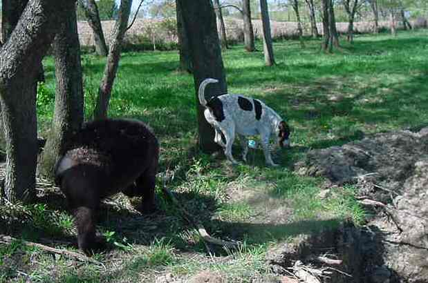 american black bear with coonhound
